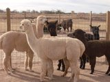 Alpaca Manure - The Perfect Fertilizer!!!! in Alamogordo, New Mexico